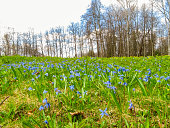 Blue flowers on the fringe of the forest