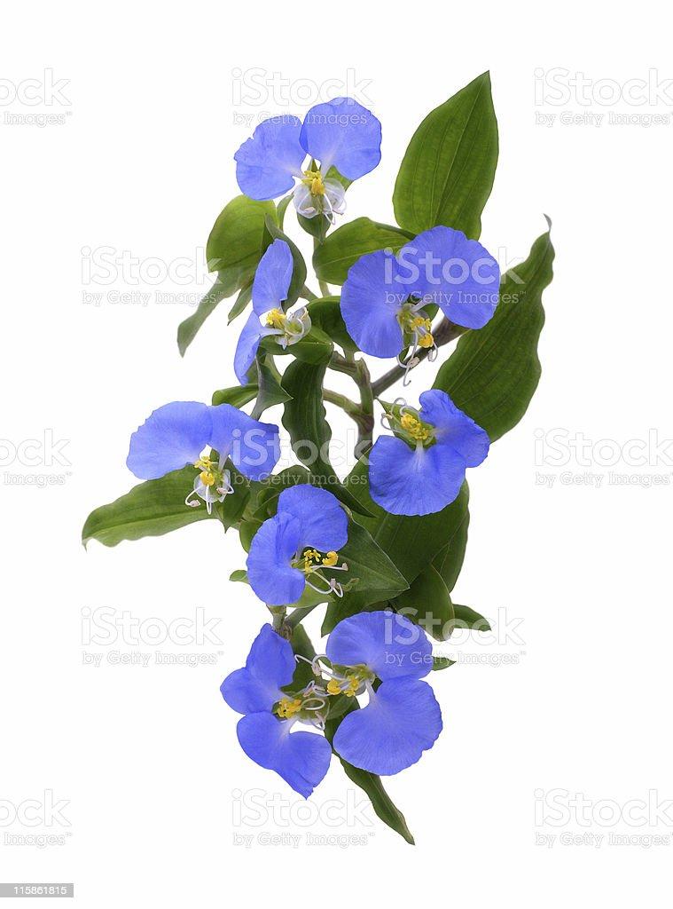 Blue flowers on white background stock photo