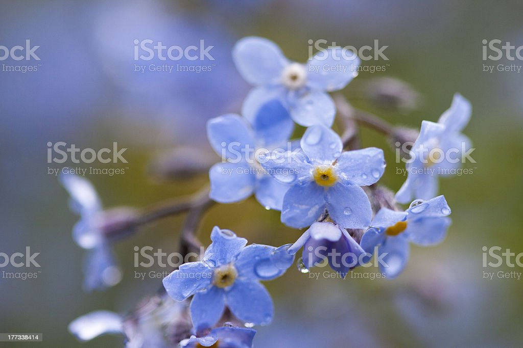 Blue flowers stock photo