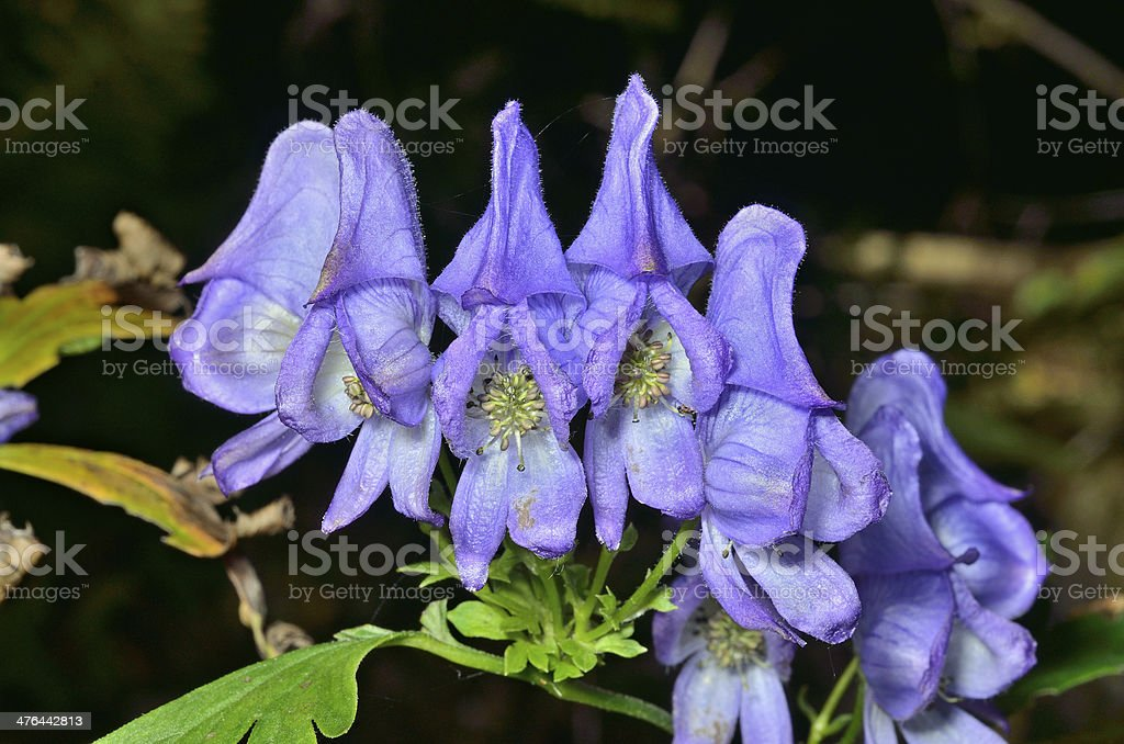Blue flowers (Aconitum taigicola) royalty-free stock photo
