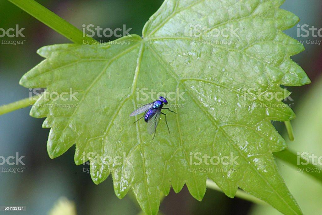 Bleu voler sur Vert feuille de vigne photo libre de droits