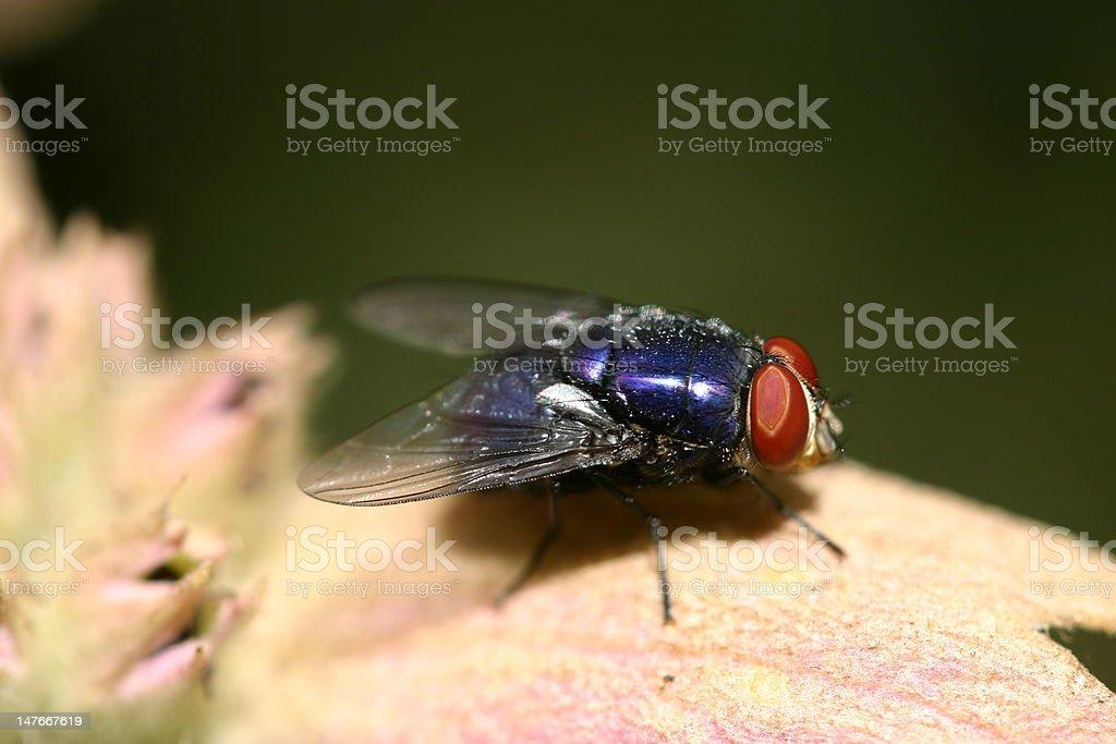 Blue Fly Lizenzfreies stock-foto