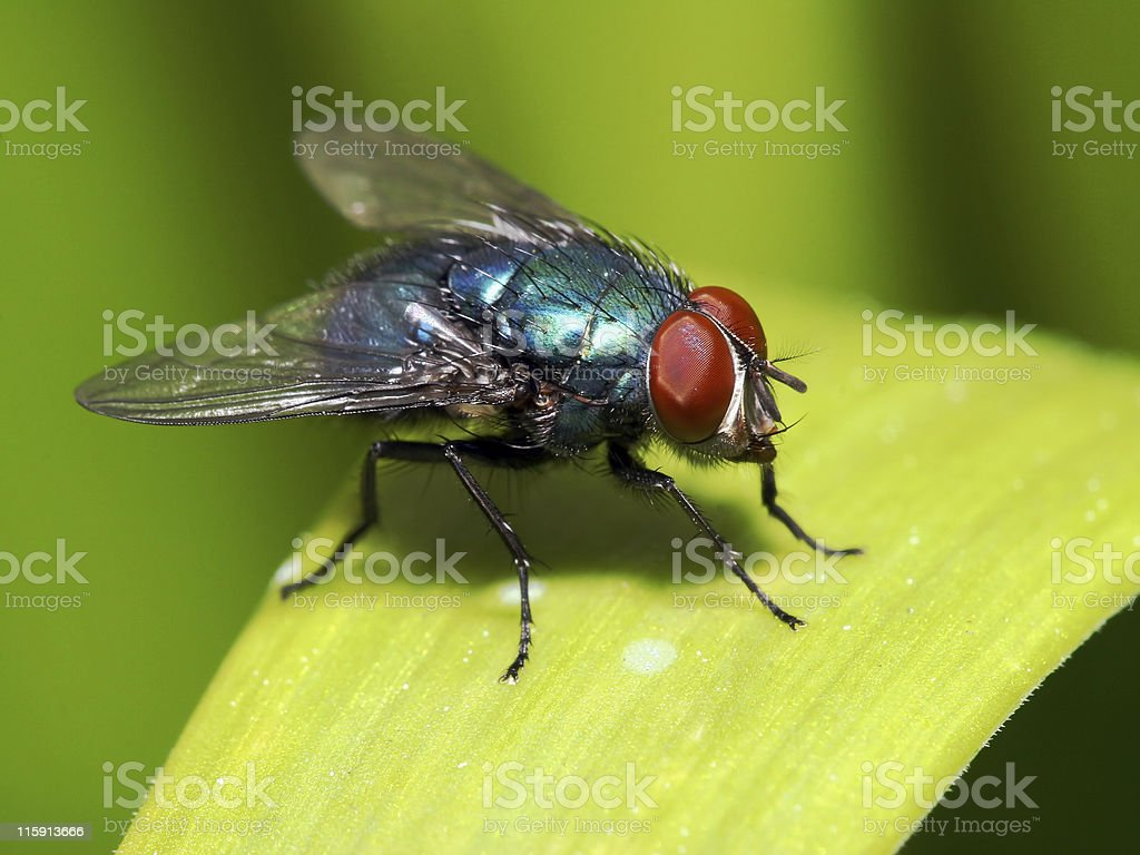 Blue fly with red eyes on blade of grass stock photo