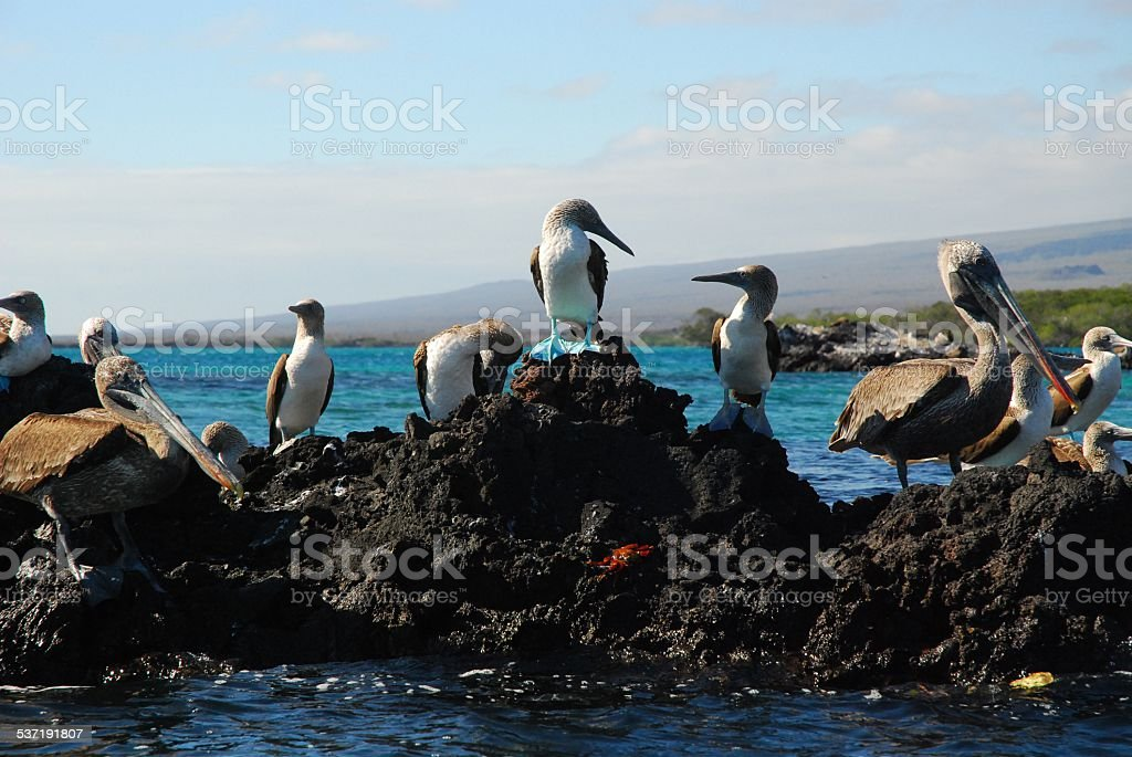 Blue Footed Boobies and Brown Pelicans Standing on Volcanic Rock royalty-free stock photo