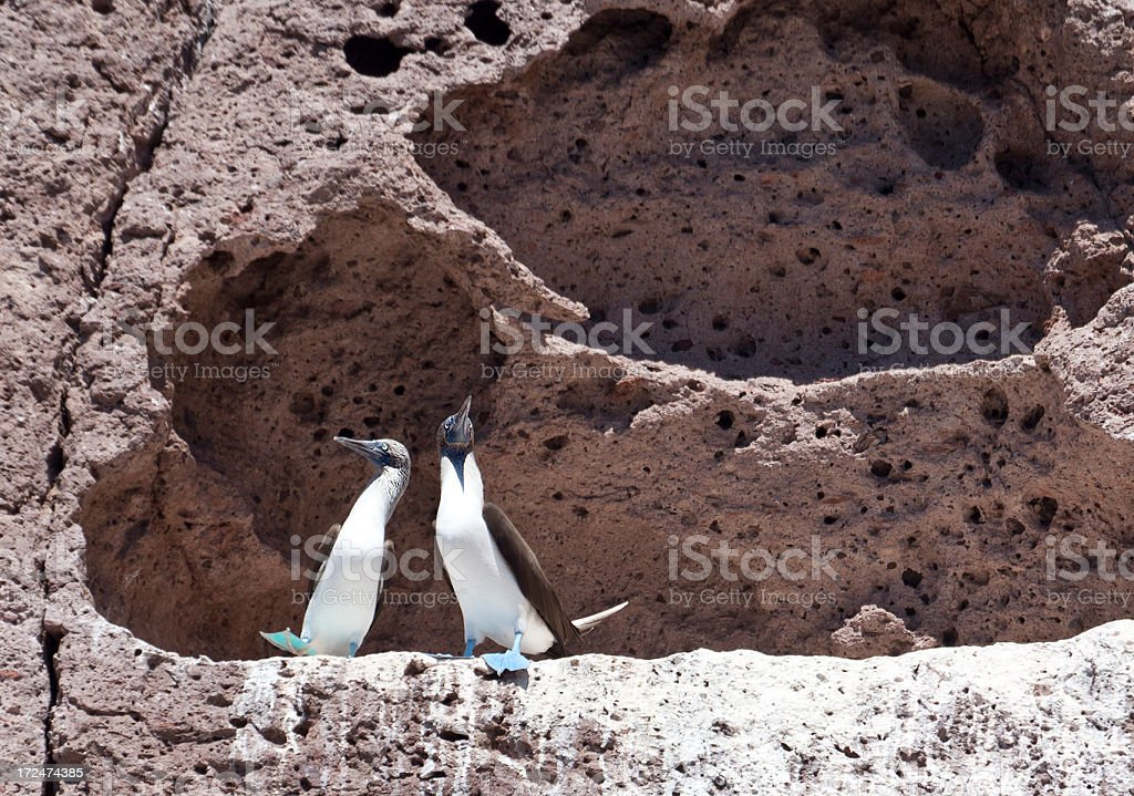 Blue Footed Boobies (Sula nebouxii) Courtship Dance stock photo