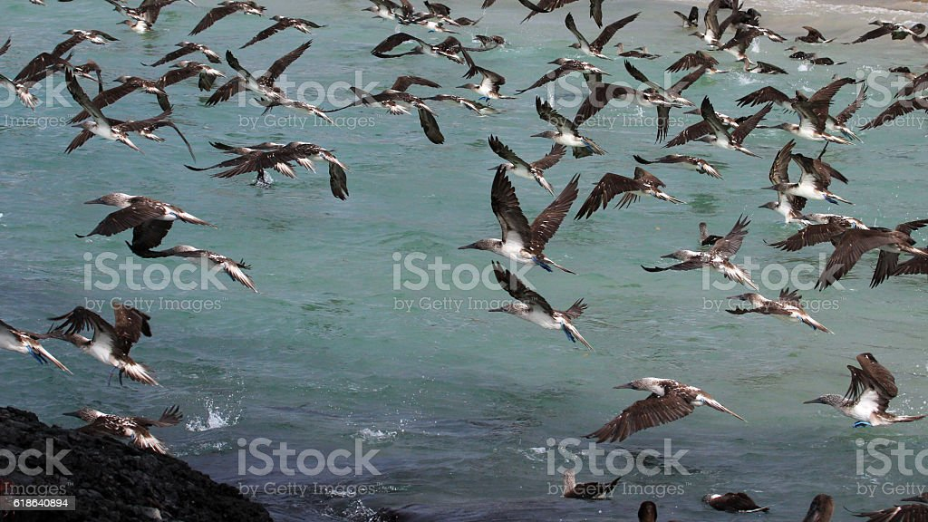 Blue footed boobies flying and fishing, Galapagos stock photo