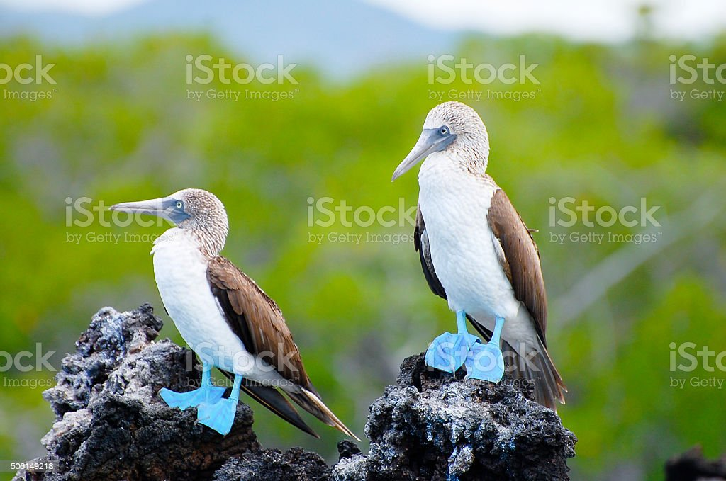 Blue Footed Boobies - Galapagos - Ecuador stock photo