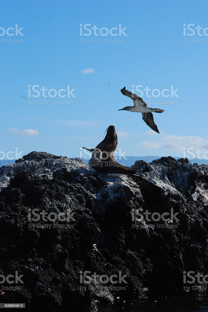 Blue Footed Booby and Galapagos Sea Lion on Volcanic Rock royalty-free stock photo
