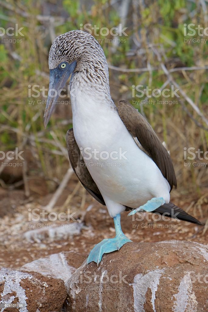 Blue footed booby dancing stock photo