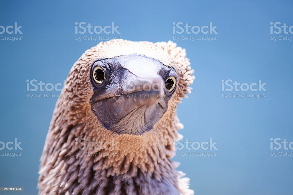 Blue Footed Booby Headshot stock photo