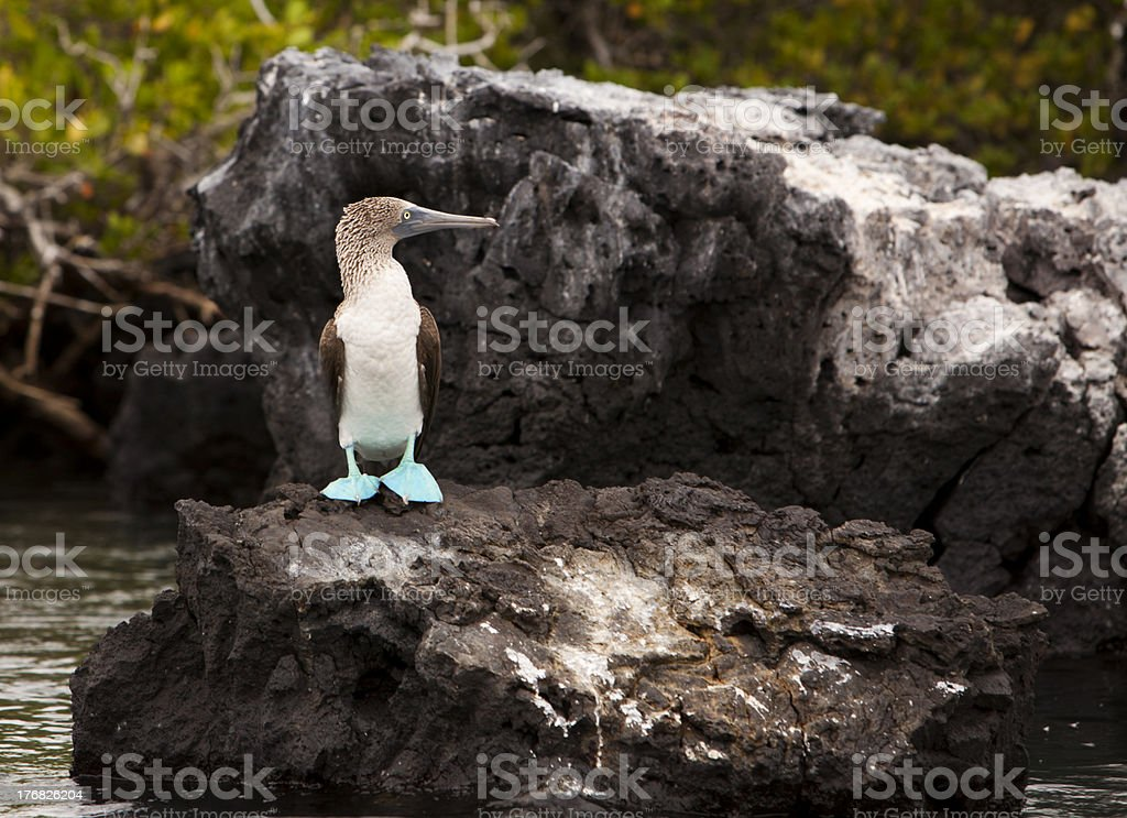 Blue Footed Booby On Rock stock photo