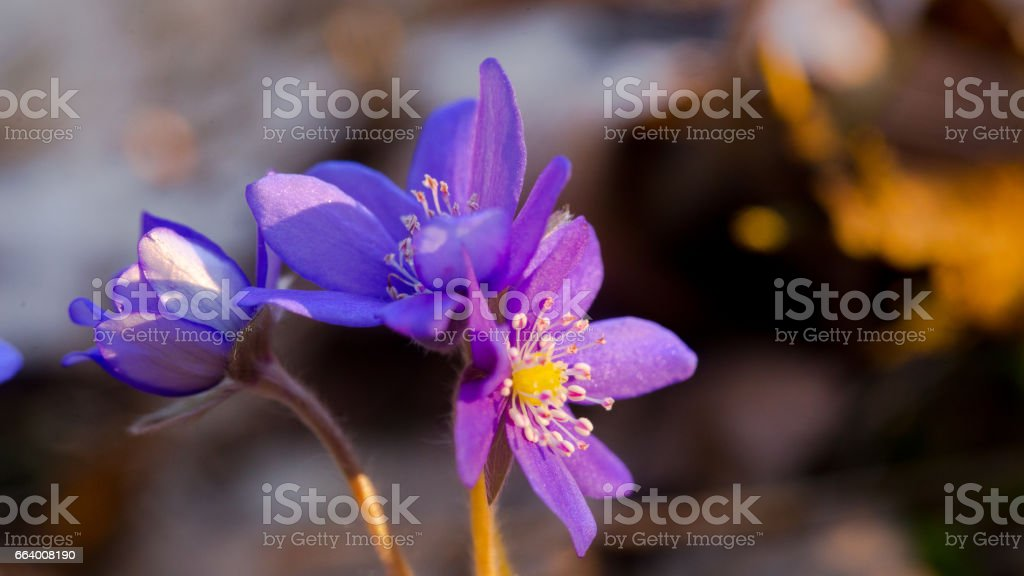 Blue forest flowers among dry autumn leaves. Hepatica nobilis. stock photo