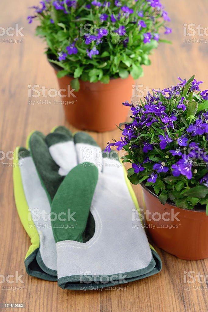 blue Garden Lobelia (Lobelia erinus) royalty-free stock photo