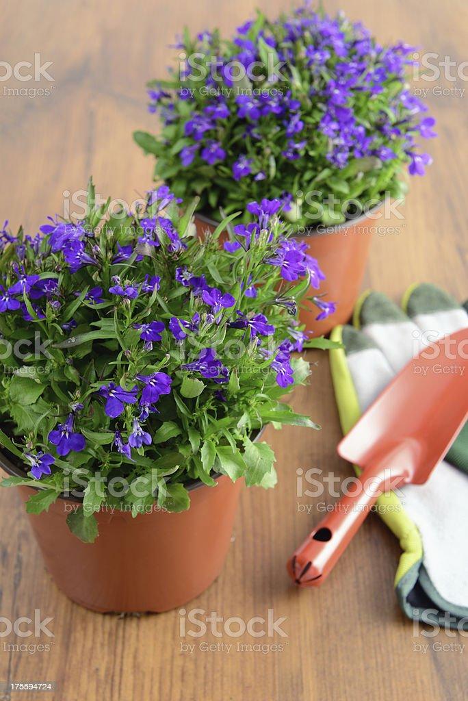 blue Garden Lobelia (Lobelia erinus) stock photo