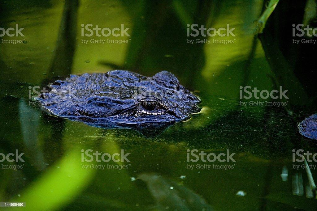 blue gator stock photo