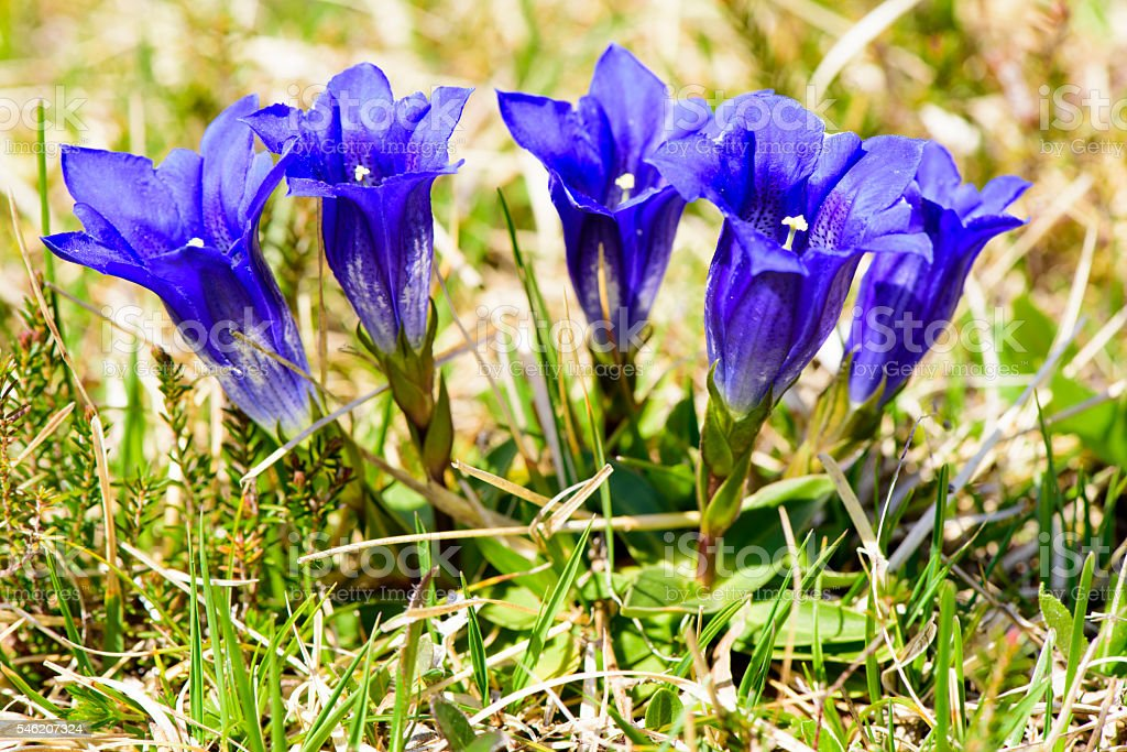 blue gentian in bavarian alps mountains stock photo