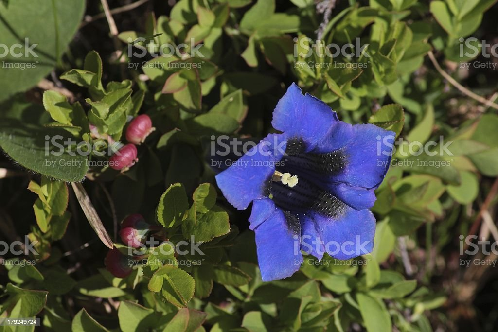 Blue gentian, wildflower royalty-free stock photo