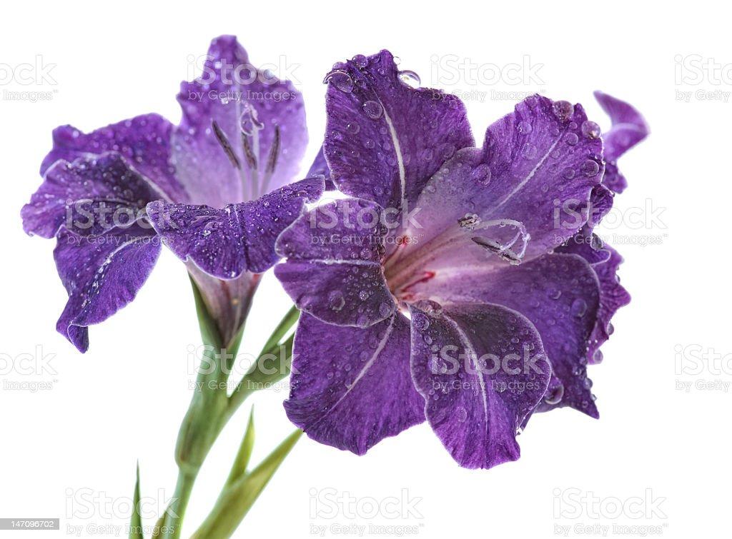 blue gladiolus royalty-free stock photo