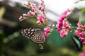 Blue Glassy Tiger (Ideopsis vulgaris macrina) Butterfly