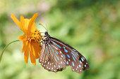Blue Glassy Tiger(Ideopsis vulgaris macrina)