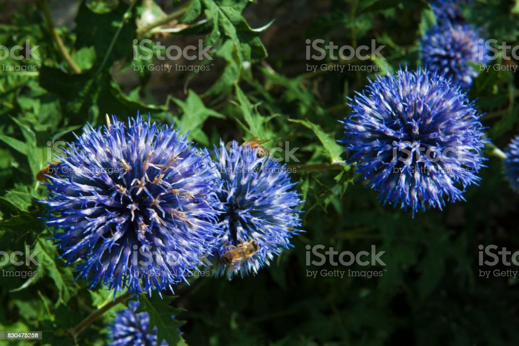 Blue Globe Thistle stock photo