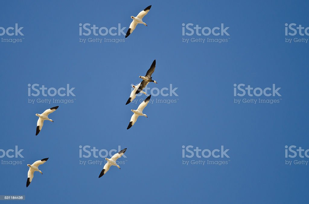 Blue Goose Flying with White Snow Geese in Clear Sky stock photo