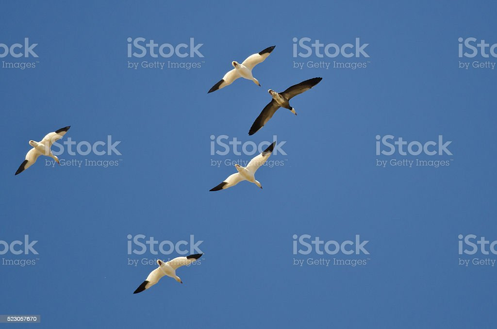Blue Goose Flying with White Snows in a Clear Sky stock photo
