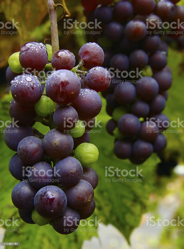 Blue grape cluster stock photo