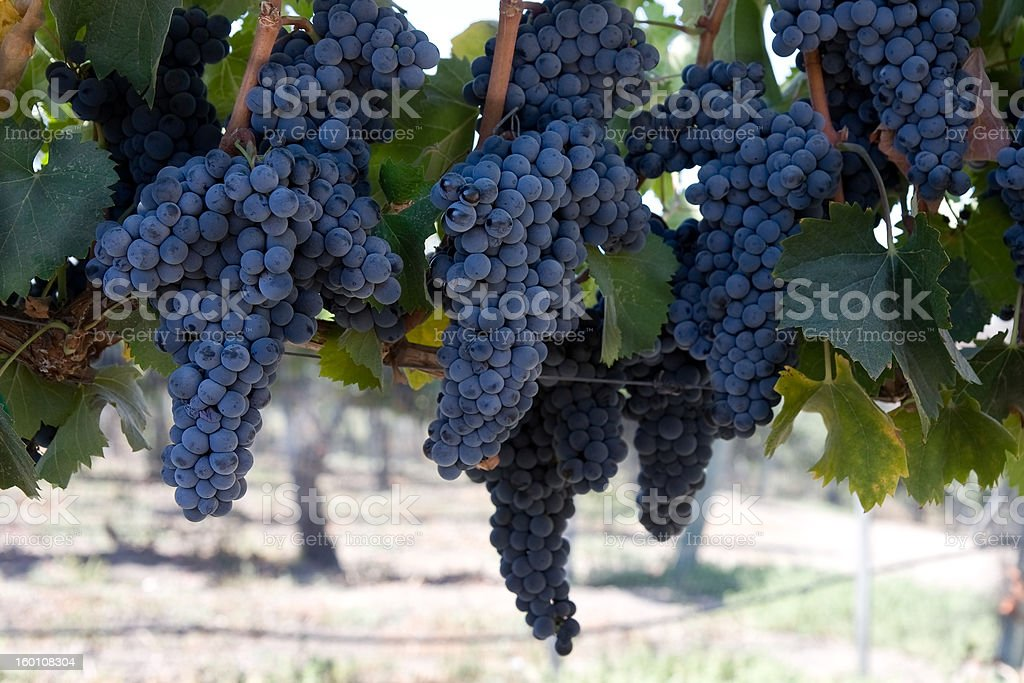 blue grape clusters hanging from vines stock photo
