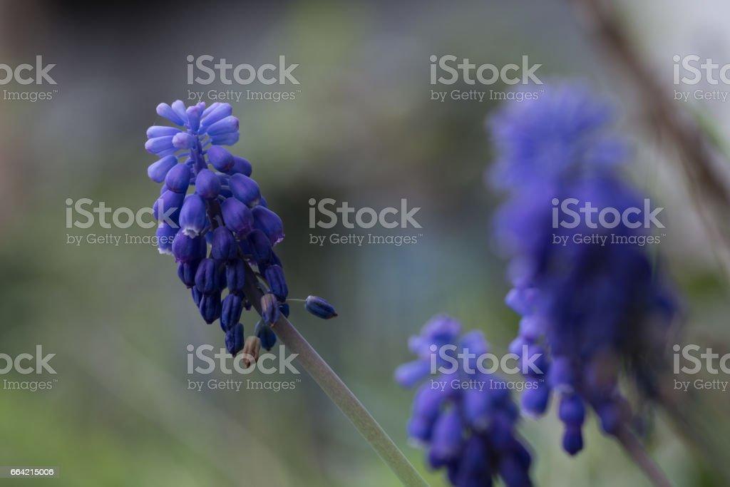 Blue Grape Hyacinth, Muscari armeniacum flowers. stock photo
