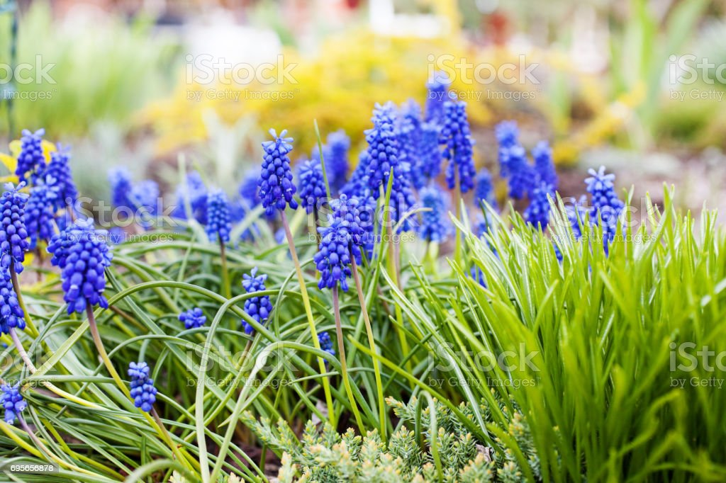 Blue Grape Hyacinths - Muscari armeniacum in bloom in the garden. Selective focus. stock photo