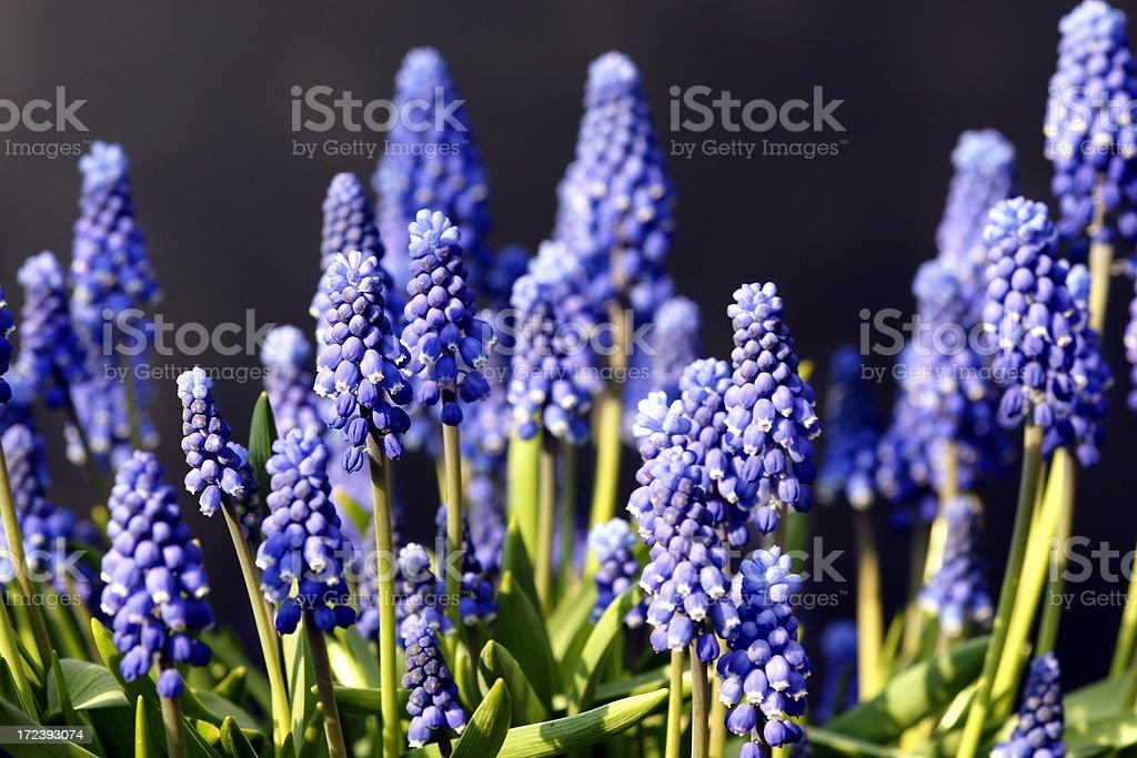Blue grape hyacinths royalty-free stock photo