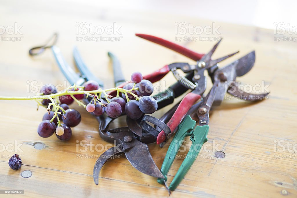 blue grape wine and Agricultural Scissors royalty-free stock photo