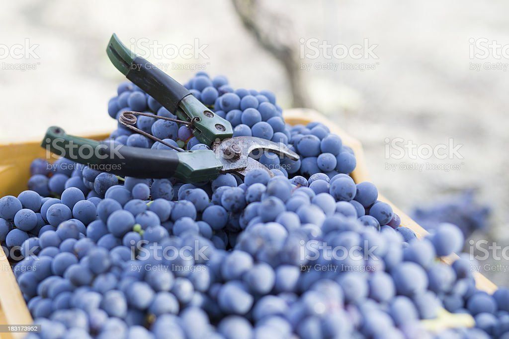 blue grape wine and scissor royalty-free stock photo