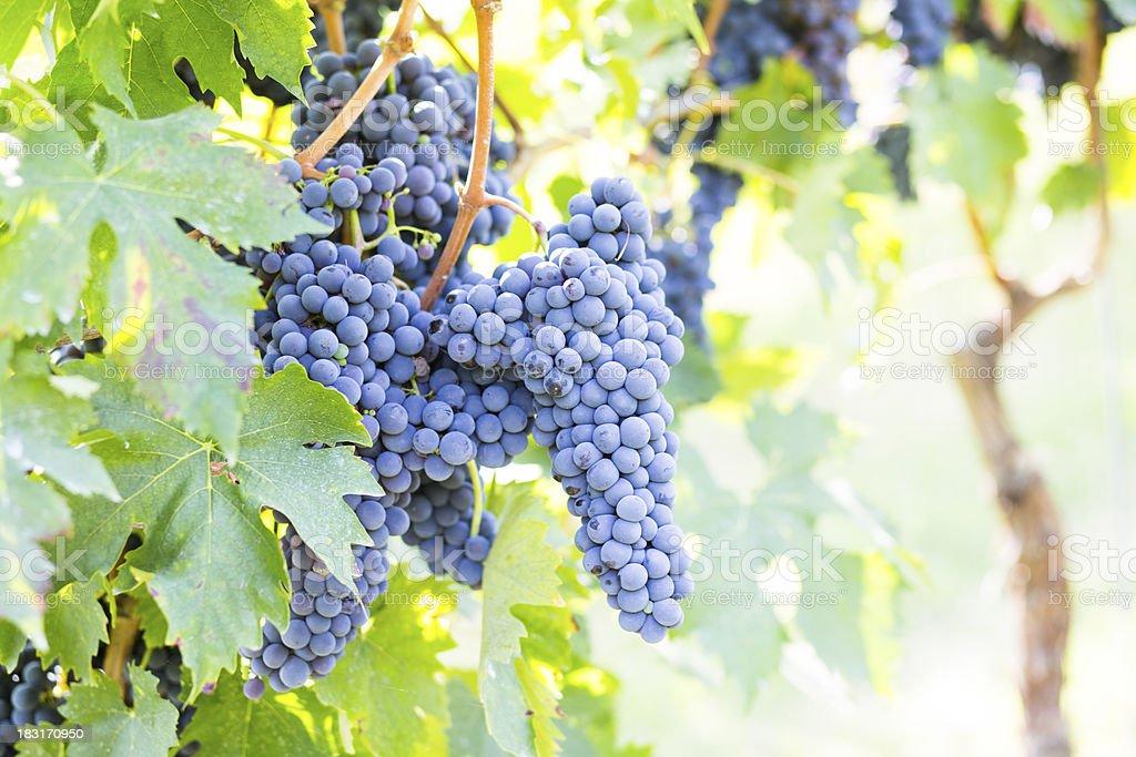 blue grape wine stock photo