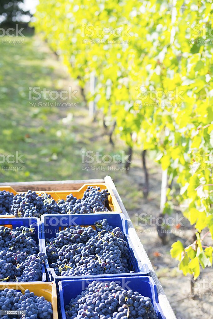 blue grape wine royalty-free stock photo