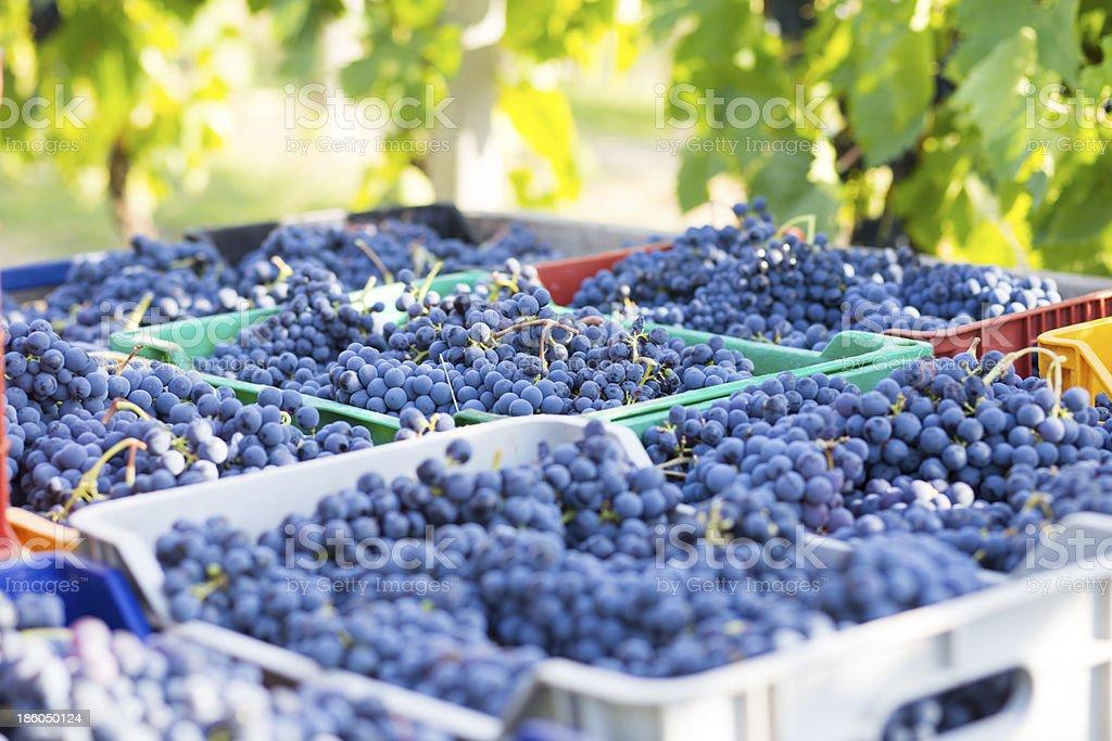 blue grape wine royalty-free stock photo