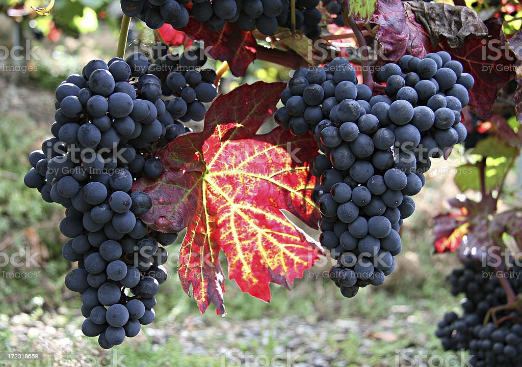 blue grapes and red leaf royalty-free stock photo