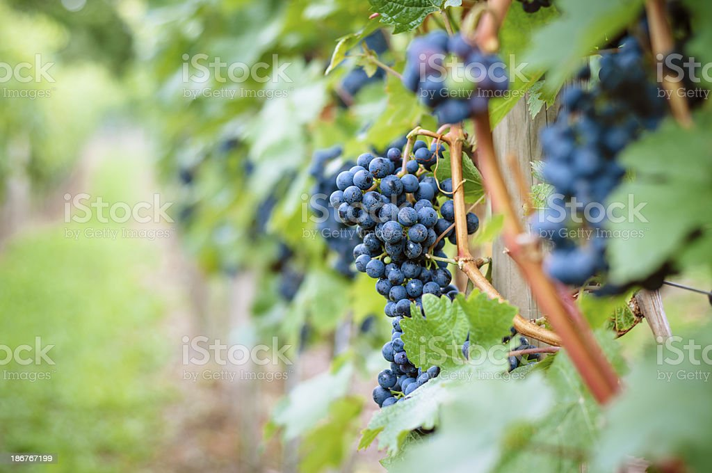Blue grapes royalty-free stock photo