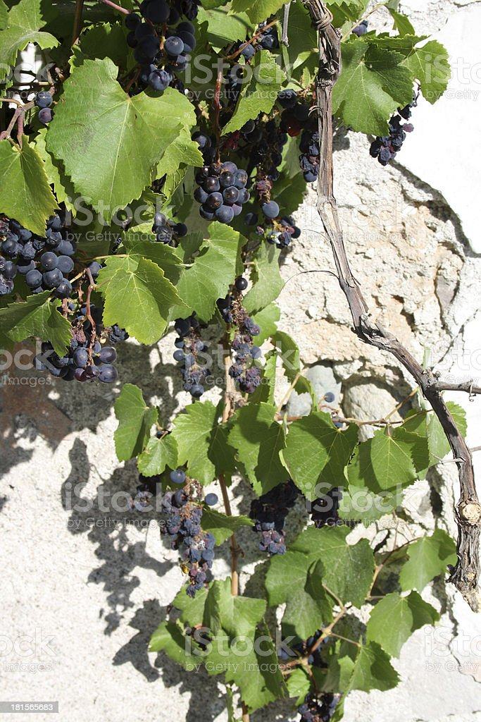 blue grapes with green leaves royalty-free stock photo