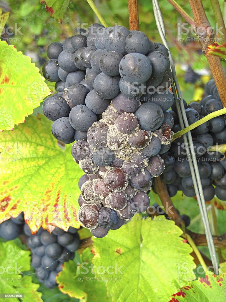 Blue grapes with mold stock photo