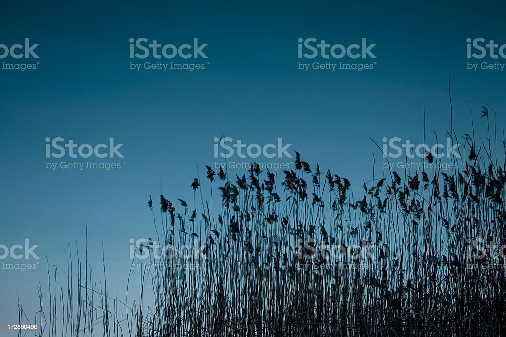 blue Grass Reed stock photo