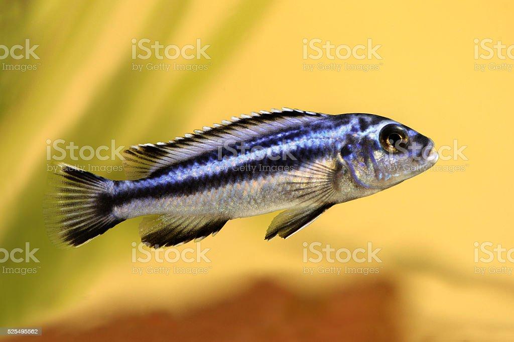 blue gray mbuna malawi cichlid Melanochromis johannii aquarium fish johanni stock photo
