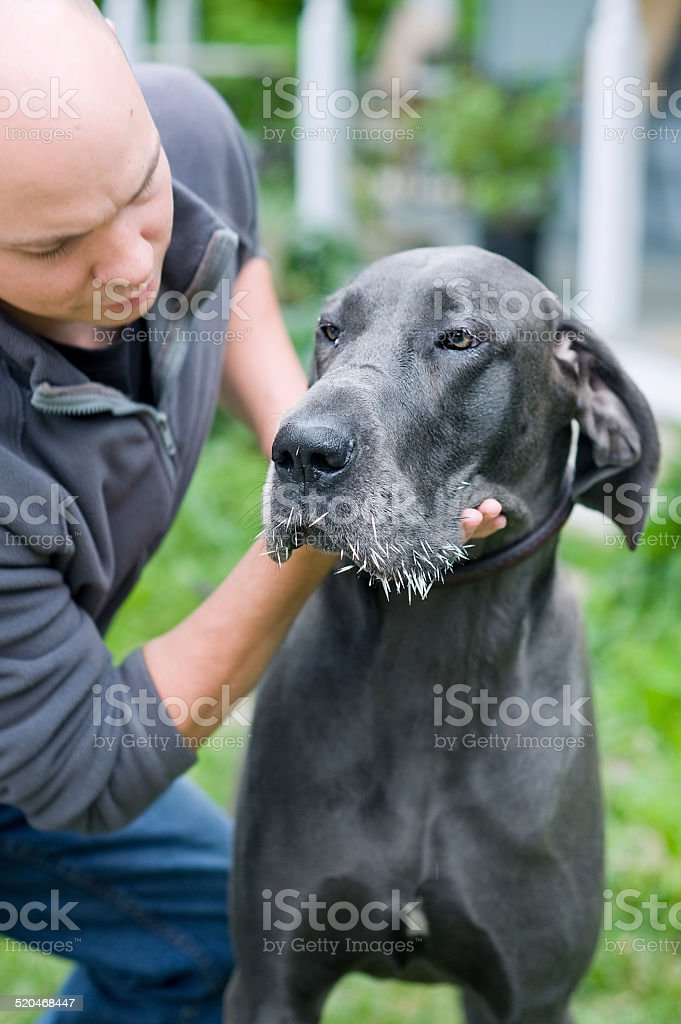 Blue Great Dane dog with muzzle full of porcupine quills stock photo
