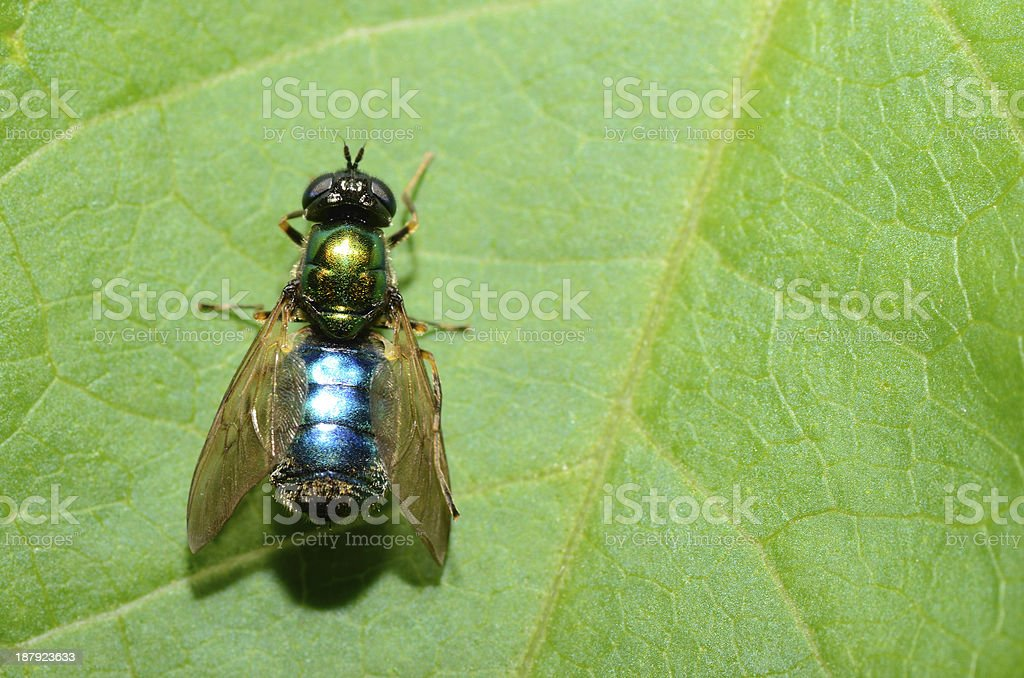 blue green fly on leaf royalty-free stock photo