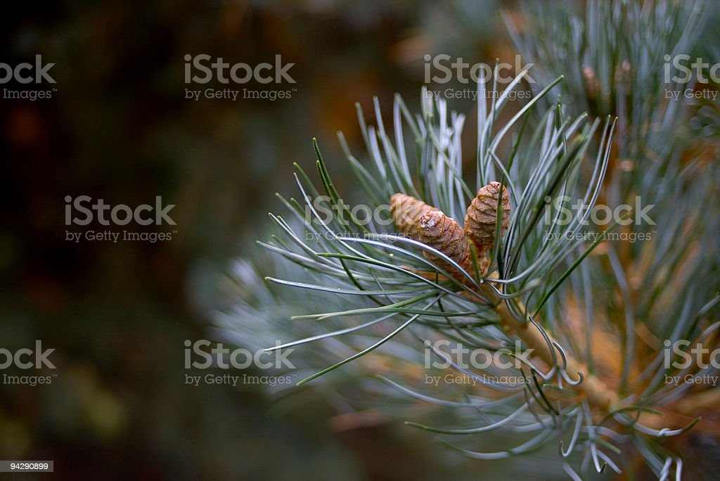 Blue green pine needles and cones royalty-free stock photo