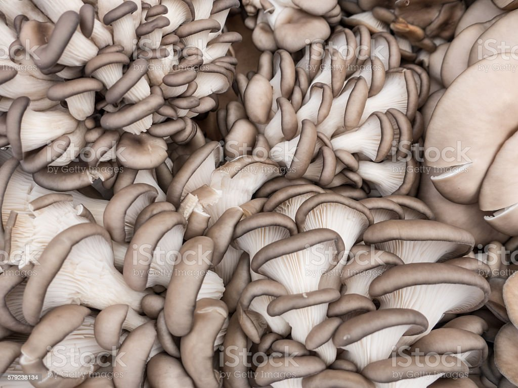Blue grey oyster mushrooms for sale at a farmers market stock photo
