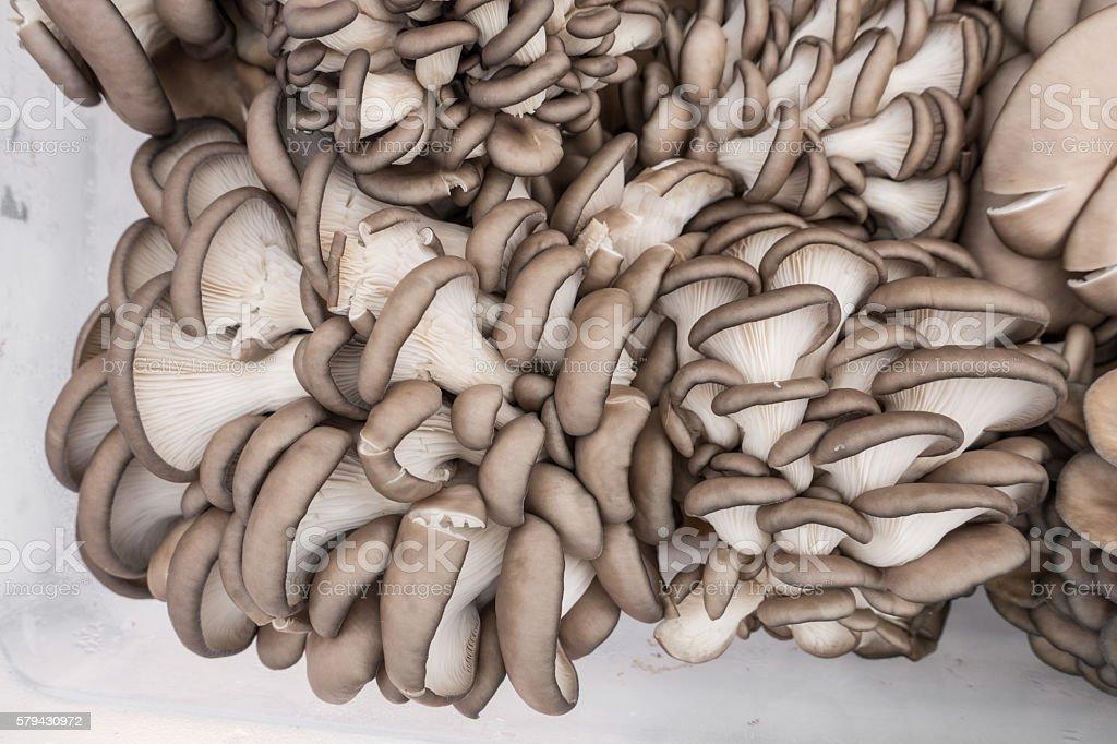 Blue grey oyster mushrooms in clear plastic bin stock photo