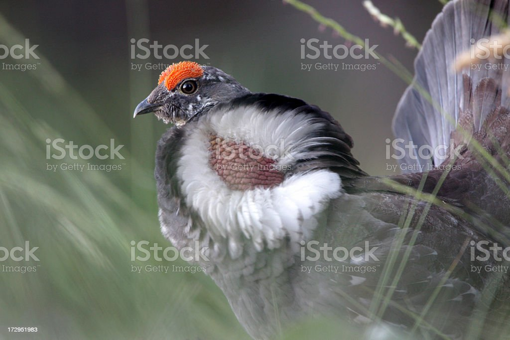 Blue Grouse - Male stock photo