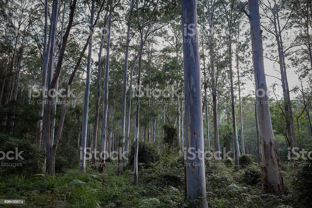 Blue Gum Forest stock photo